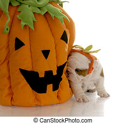 english bulldog puppy sitting beside stuffed pumpkin