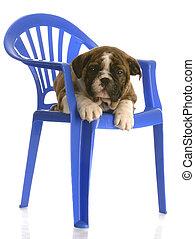 english bulldog puppy sitting on a blue plastic childs chair