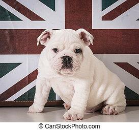 english bulldog puppy sitting