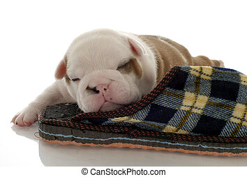 english bulldog puppy sleeping with slipper - three weeks old