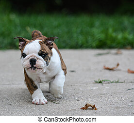 english bulldog puppy walking outdoor on the cement