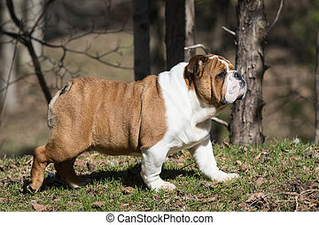 english bulldog puppy walking outside in the grass