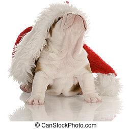 english bulldog puppy wearing santa hat - four weeks old
