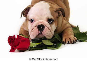 English bulldog puppy with rose in a white background.