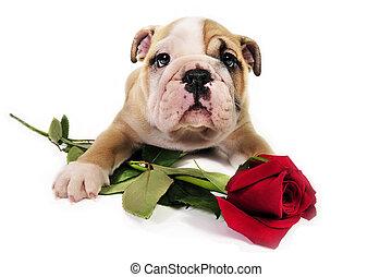 English bulldog puppy with valentine rose. - English bulldog...