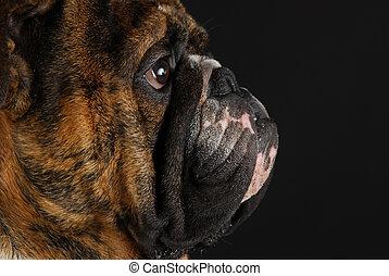 english bulldog side profile - english bulldog face from the...