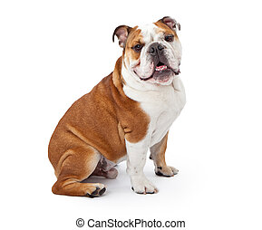 English Bulldog Sitting - A young nine month old English...