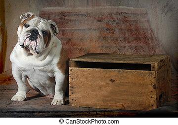 english bulldog sitting looking at viewer - 4 year old male