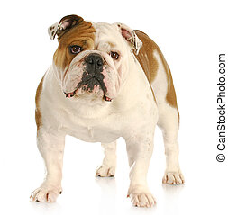 english bulldog standing looking at viewer with reflection...
