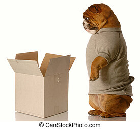shipping or moving - english bulldog standing looking down ...