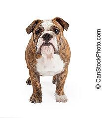 English Bulldog Standing Looking Forward