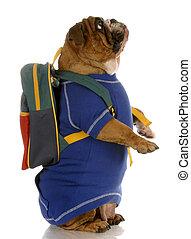english bulldog standing up wearing blue sweater and...