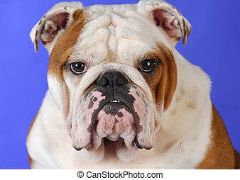 english bulldog male head portrait on blue background