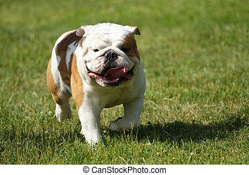 English bulldog running in the grass