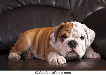 English bulldog puppy relaxing on black leather sofa.
