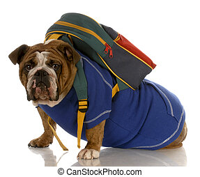 english bulldog wearing blue sweater with backpack on white background