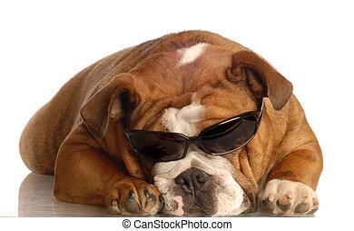 english bulldog wearing dark sunglasses - isolated on white...