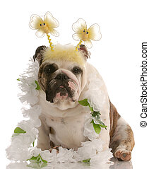 english bulldog wearing fun comical costume