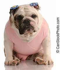 english bulldog wearing pink tutu with flower barrettes