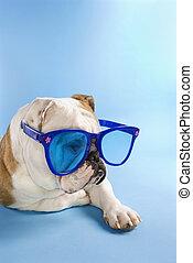 English Bulldog wearing sunglasses.