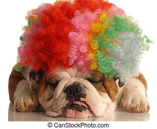 english bulldog with colorful clown with isolated on white background