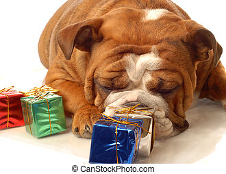 english bulldog with colorful gift wrapped presents