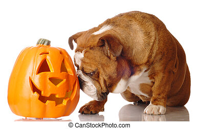 english bulldog with cutout pumpkin