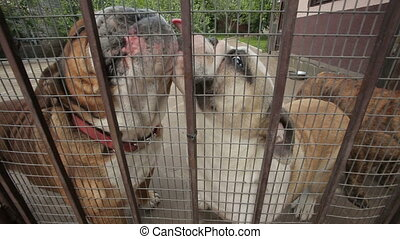 English Bulldogs in a Cage