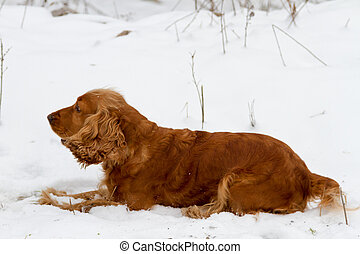 Spaniel lying in the snow