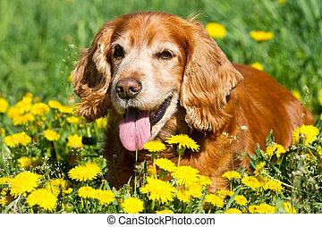 English cocker Spaniel on the grass