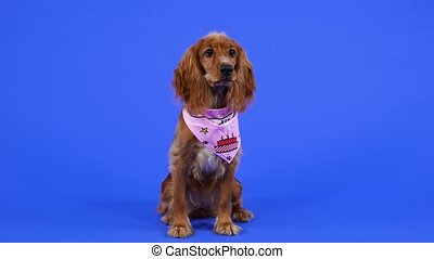English cocker spaniel sits in full growth in the studio on a blue background. A pet in a pink bib looks around. Slow motion. Close up