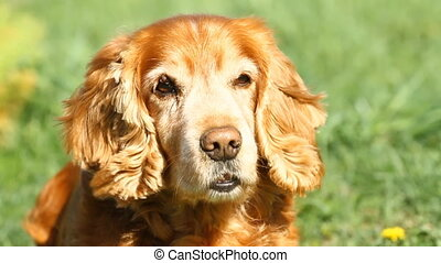 English  Cocker Spaniel on a green meadow