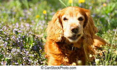 English Cocker Spaniel on the Flowers