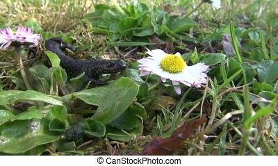 English daisy and newt triturus cristatus - Newt Triturus...