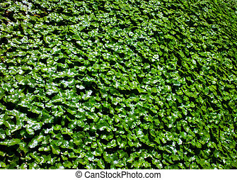 English Garden Ivy Wall Backdrop