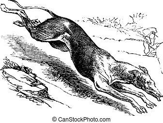 English Greyhound vintage engraving