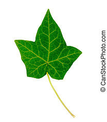 English Ivy Leaf - English Ivy single leaf isolated on white