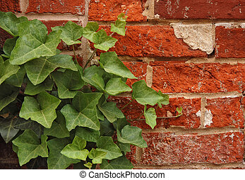 English Ivy on a Red Brick Wall