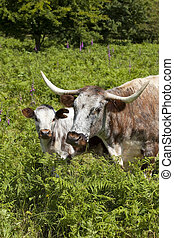 english long horn cow and calf