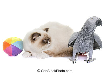 english longhair cat and parrot
