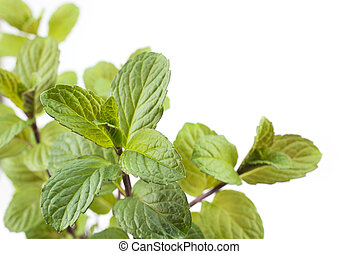 English mint plants - One english mint plants and blurs on a...