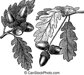 English Oak or Pedunculate Oak or Quercus robur, vintage engraving. Old engraved illustration of English Oak showing acorns.