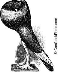 English Pouter, vintage engraving. - English Pouter, vintage...