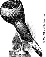 English Pouter, vintage engraving.