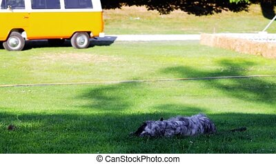 English Setter playing and lying on the grass.