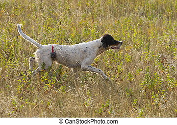 English Setter on Point Grouse hunting