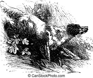 English Setter or Canis lupus familiaris, vintage engraving. Old engraved illustration of an English Setter.