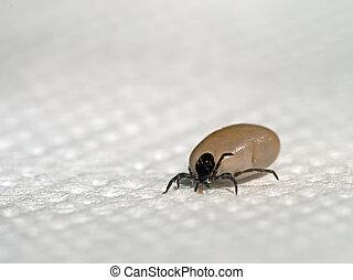 engorged, 壁虱, 昆虫, 疾病, 風險, 等等