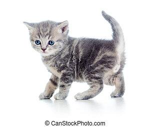 engraçado, andar, branca, isolado, gatinho