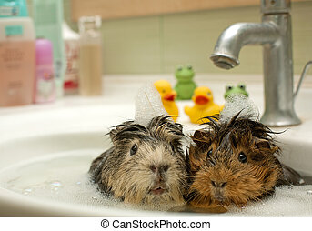 engraçado, animais, em, a, piscina